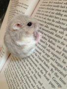 56e6c3119ddd78b5b9380df4fd5f341c--cute-hamsters-dwarf-hamsters